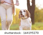 Stock photo senior woman walking her beagle dog in countryside 164195270
