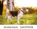 Stock photo senior woman walking her beagle dog in countryside 164195336