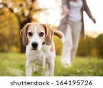Stock photo senior woman walking her beagle dog in countryside 164195726