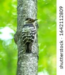 Small photo of The lesser spotted woodpecker (Dryobates minor) is a member of the woodpecker family Picidae. Lesser spotted woodpecker near the nest.
