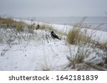 Snowy Dunes With Hooded Crows...