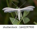 Pterophorus Pentadactyla ...