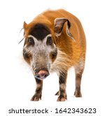 Front View Of A Bush Pig...