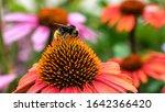 Bumblebee On A Echinacea Flowe...