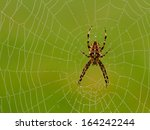 Cross Spider In Web  Araneus...