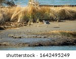One Great Blue Heron Walking O...