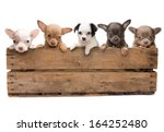 Stock photo vintage wooden crate filled with five newborn chihuahua puppies 164252480