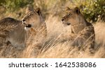 Lioness In The Savannah Of...