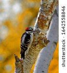 A Cute Downy Woodpecker In...