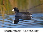 A Single American Coot Swimming ...