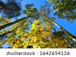 Tree Tops On Blue Sky In Autumn....