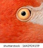 Close Up Of American Flamingo...