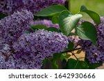 Defocused Bunch Of Lilac...