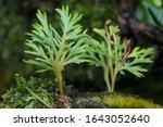 Tiny Green Lichen Fungus Or...