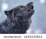Howling Canadian Wolf In Winter ...