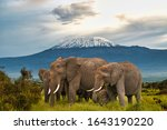 Elephants In The Amboseli And...