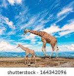 Stock photo  family of giraffes goes against the blue sky 164342096
