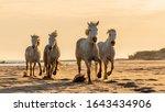 Wild Camargue Stallions...