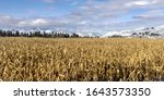 Wide Shot Of Cornfield And...
