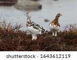 Willow Ptarmigan (Lagopus lagopus) moulting into their winter plumage while searching for food on an arctic tundra, near Arviat, Nunavut