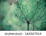 silver  blue spruce pine  fir...