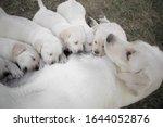 Labrador retriever is...