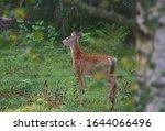 Young European Roe Deer ...