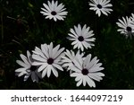 Daisies With Raindrops In The...