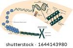 chromosome. chromatid. histones ... | Shutterstock .eps vector #1644143980
