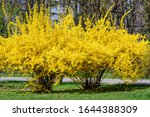 Large Bush Of Yellow Flowers O...