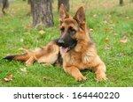 german shepherd dog on the... | Shutterstock . vector #164440220