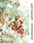 Young Unripe Blackberries Hang...