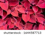 foliage of the plant coleus  ...   Shutterstock . vector #1644587713