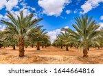 Plantation Of Date Palms ...