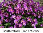 Primula Is A Genus Of Mostly...