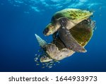 Small photo of Faraway from land, in the pelagic domain of the Pacific Ocean, off Ensenada de Muertos, in Baja California Sur, a couple of Olive ridley sea turtles (Lepidochelys olivacea) performs its mating ritual