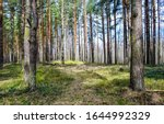 Forest pine trees in spring....