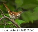This Brown Thrasher Pauses...