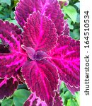 Small photo of Colorful coleus leaf