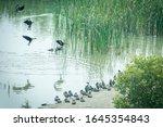 Mrigratory Ducks Are Resting On ...