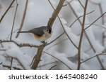 Tufted Titmouse Sitting On A...