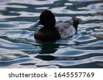 Ring Necked Duck Swimming In...