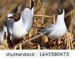 Pair Of Black Headed Gull Birds ...