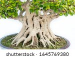 Close Up Root And Trunk Of...