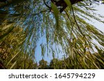 Weeping Willow Tree Or Shrub O...