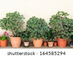 Row Of Pots With Crassula And...
