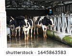 Cows In A Cowshed On A Pasture.