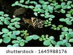 Water Bug  Abedus Herberti ...