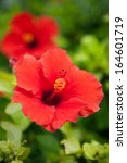 Red Hibiscus Flower Growing On...