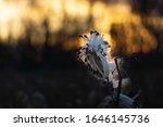 Milkweed Seed Pod In Late Fall